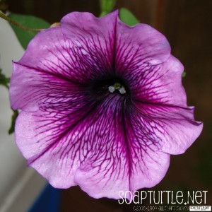 Macroed Morning Glory