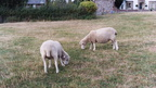 two_sheeps